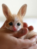 fennecus zerda kawaii